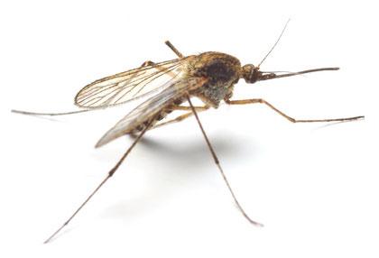 Dengue Fieber Mücken