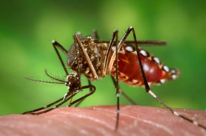 Gelbfiebermücke