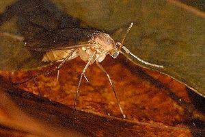 Pilzmücken