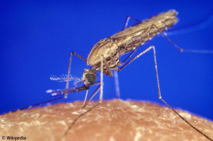 Anopheles Malaria Mücke